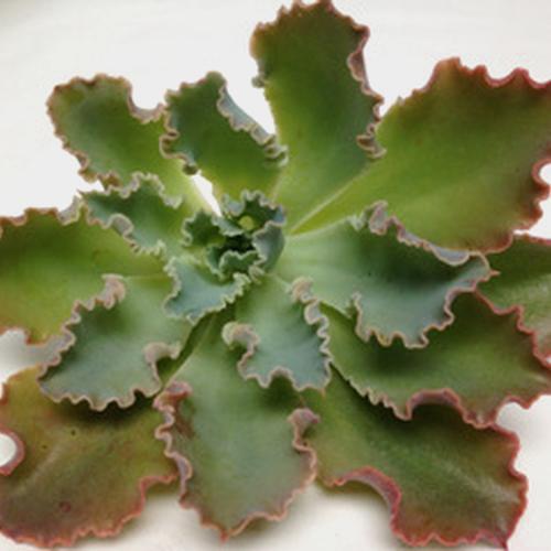Shaviana Medium Succulents 10cm