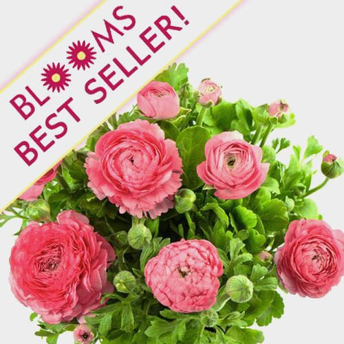 Hot Pink Ranunculus Flower