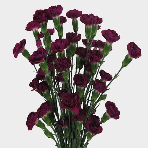 Purple Mini Carnation Flowers
