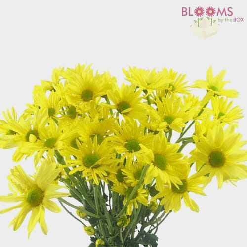 Pompon Daisy Yellow Flowers