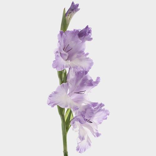 Gladiolus Fancy Lavender Flowers