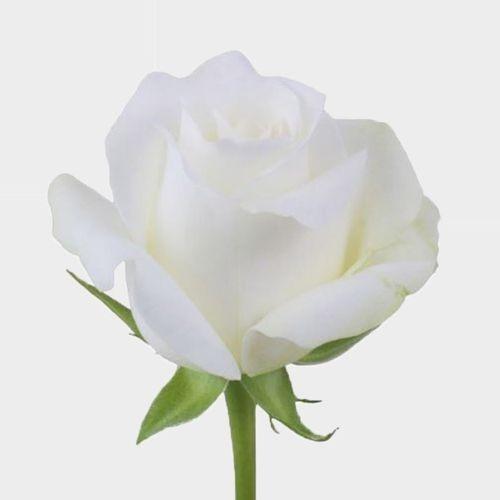 Rose Akito White 50 Cm.