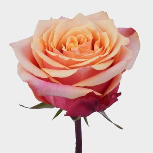 Rose Cherry Brandy 50cm