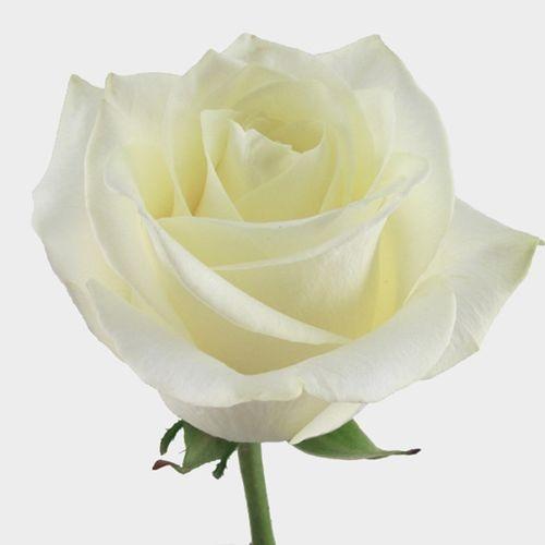 Rose Polar Star White 50 Cm.
