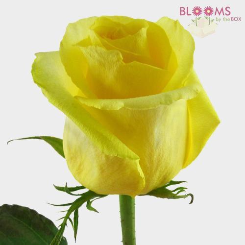 Rose Tara Yellow 60cm