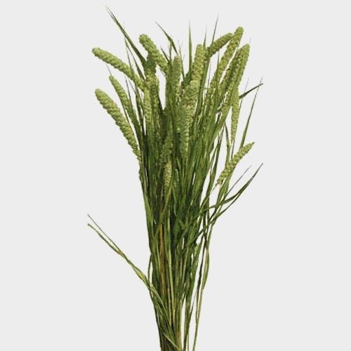 Millet Green
