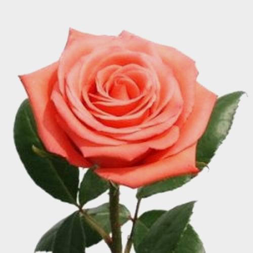 Rose Movie Star Coral Salmon 60 Cm