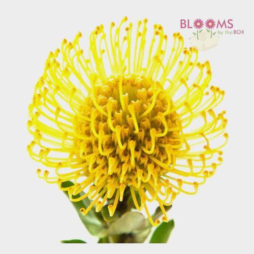 Protea Pincushion Yellow