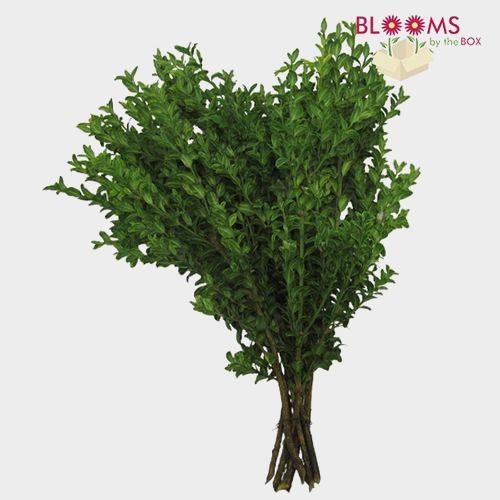 Oregonia Greenery