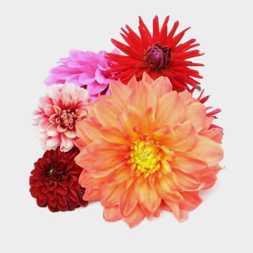 Dahlias Flowers 10 Bunch Medium Box (100 Stems)
