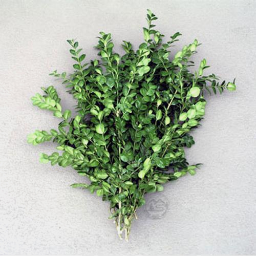 Boxwood Tips 20 lbs Box