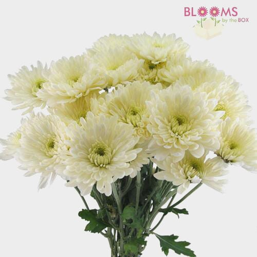 Cushion Pompon White Flowers
