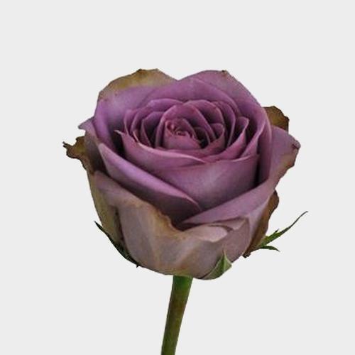 Rose Amnesia 40 cm.