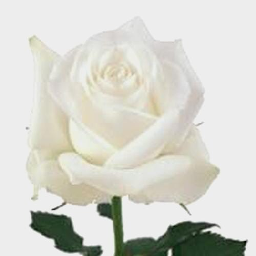 Rose Akito 50 cm.