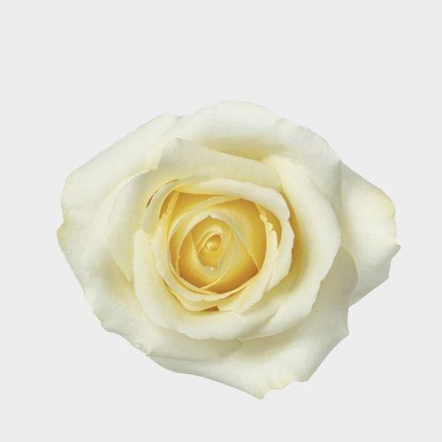 Rose Blizzard 40 cm.