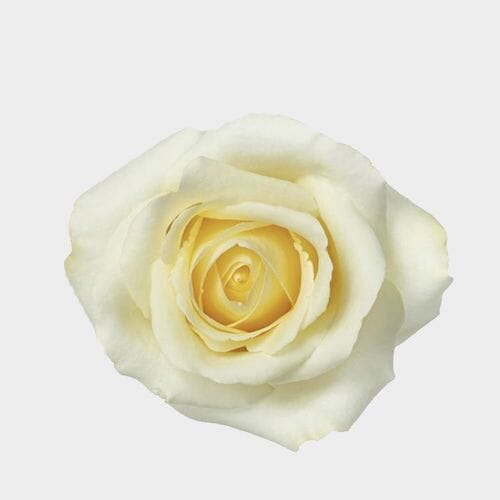 Rose Blizzard 50 cm.