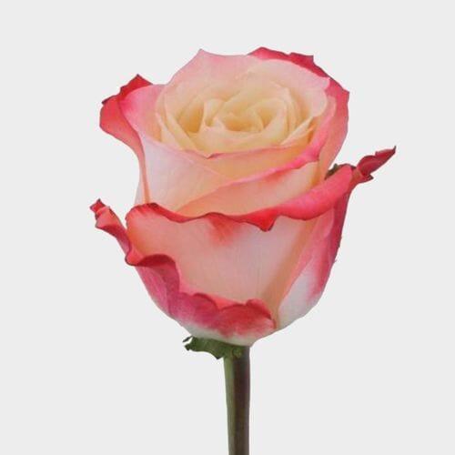 Rose Cabaret 50 cm.