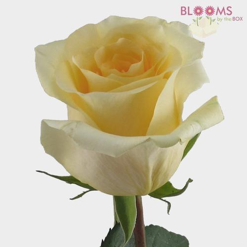 Rose Creme De La Creme 40 cm.