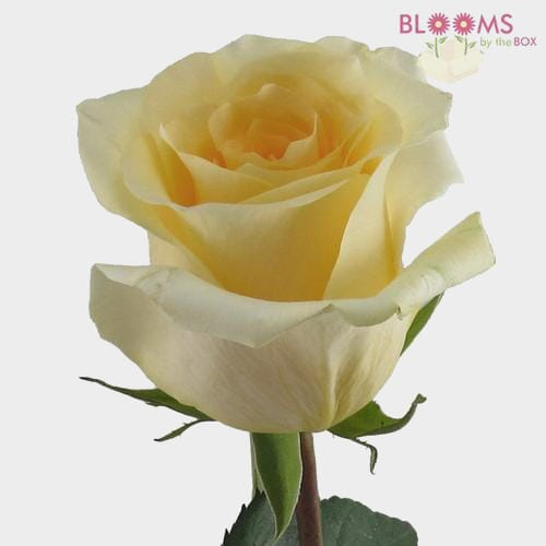 Rose Creme De La Creme 50 cm.
