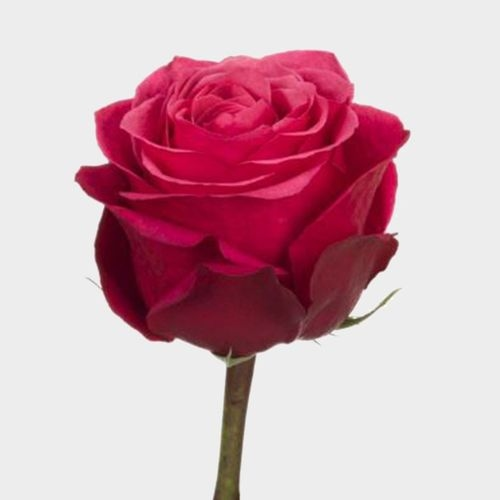 Rose Cherry O 40 cm.