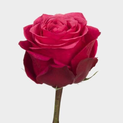 Rose Cherry O 50 cm.