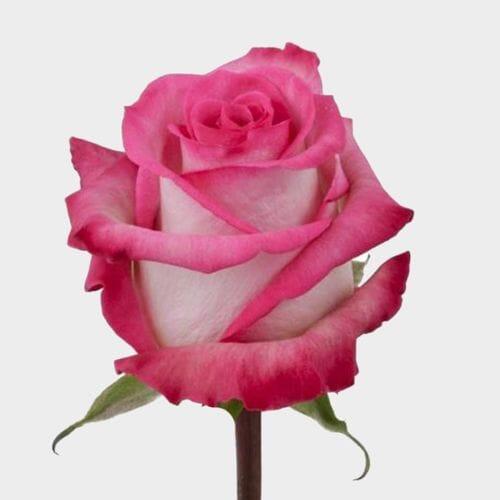 Rose Classic Cezanne 40 cm.