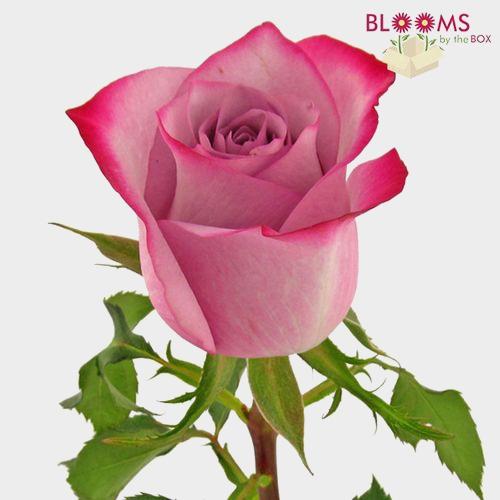 Rose Deep Purple 50 cm.