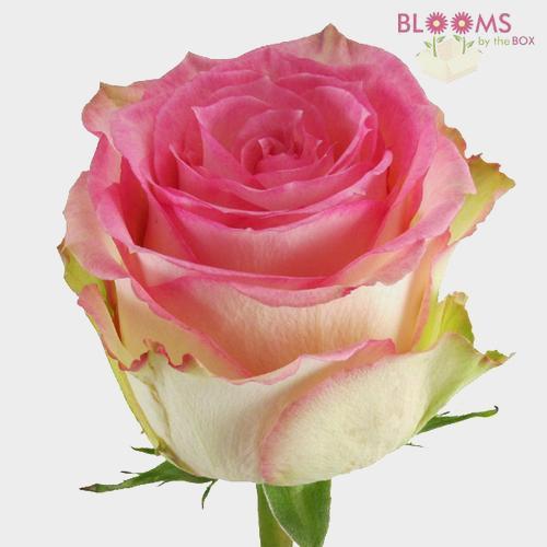 Rose Esperance 50 cm.
