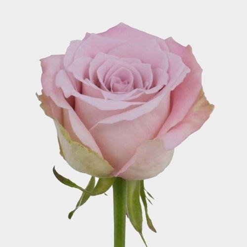 Rose Faith 50 cm.