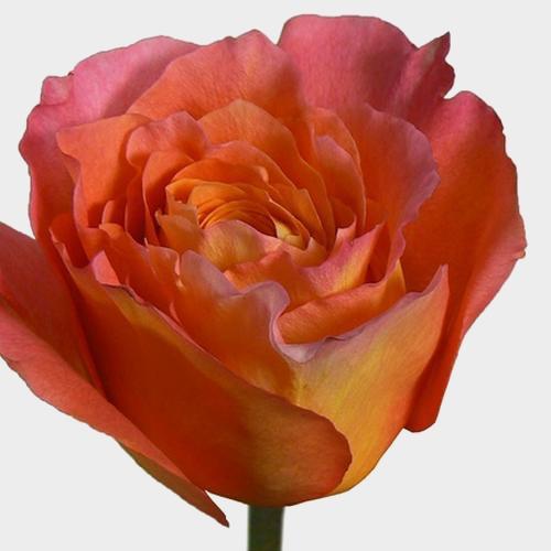 Rose Free Spirit 50 cm.