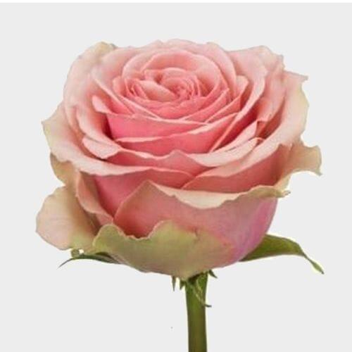 Rose Geraldine 50 cm.