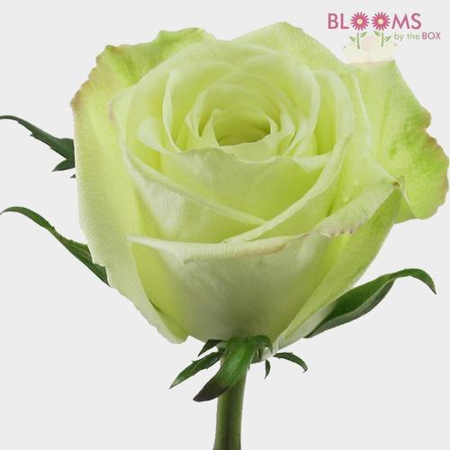 Rose Green 50 cm.
