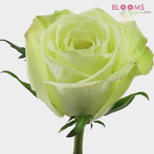 Rose Green Tea 50 cm.