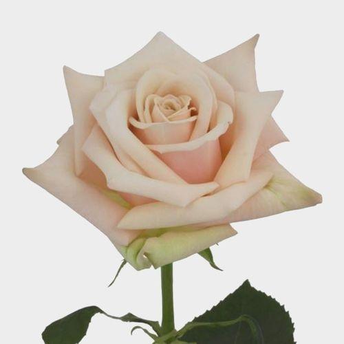 Rose Sahara 40 cm.