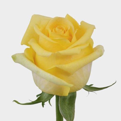 Rose Hummer 40 cm.