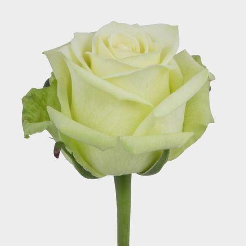 Rose Jade 50 cm.