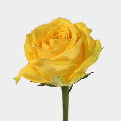 Rose Latina 50 cm.