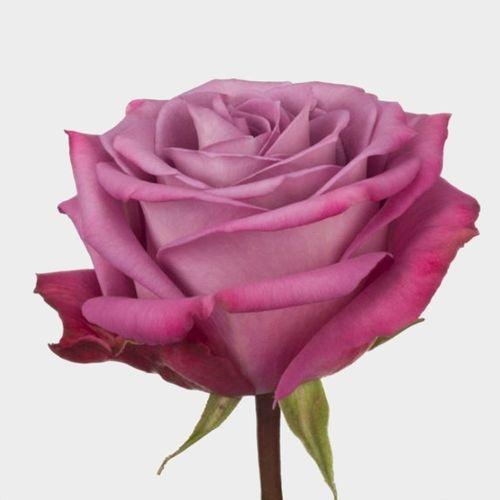 Rose Moody Blues 50 cm. (Large Head)