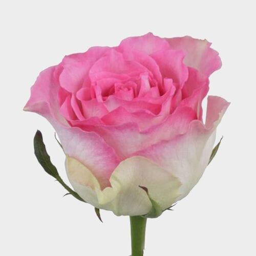Rose Malibu 50 cm.