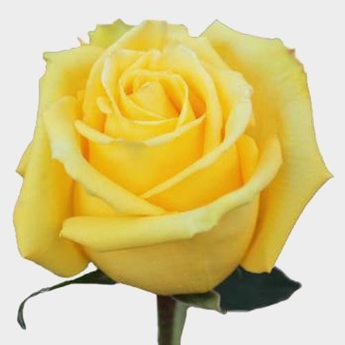 Rose Mohana 50 cm.