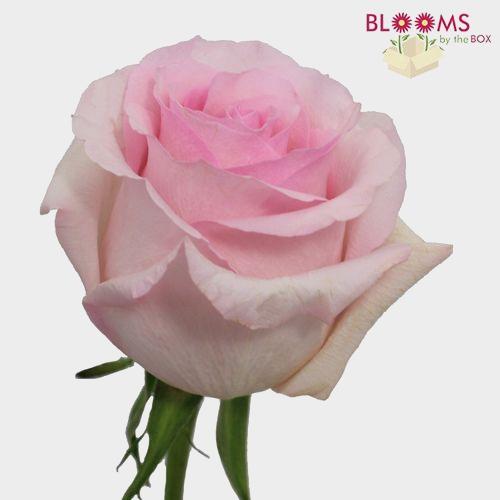 Rose Nena 50 cm.