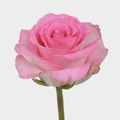 Rose Priceless 50 cm.