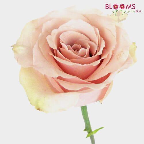 Rose Quicksand 50 cm. Bulk