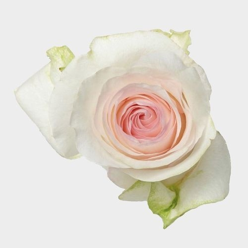 Rose Senorita 50 cm.