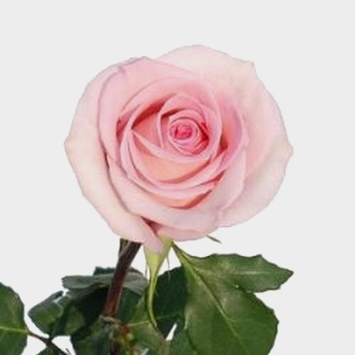 Rose Sophie 50 cm.