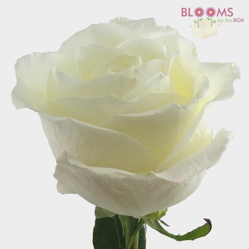Rose Tibet 40 cm.