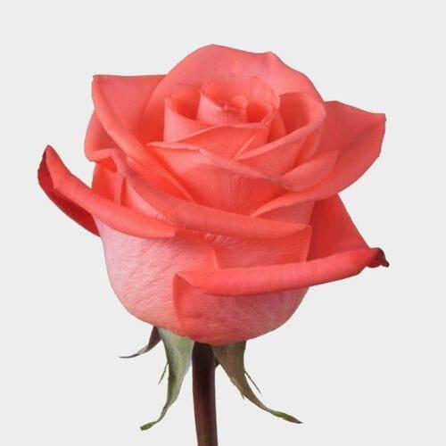 Rose Wow 40 cm.