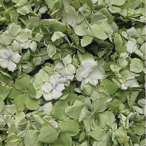 Apple Green FD Hydrangea Petals (30 Cups)