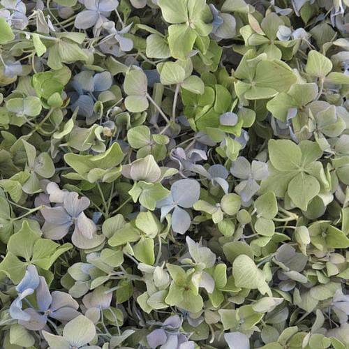 Blue / Green FD Hydrangea Petals (30 Cups)