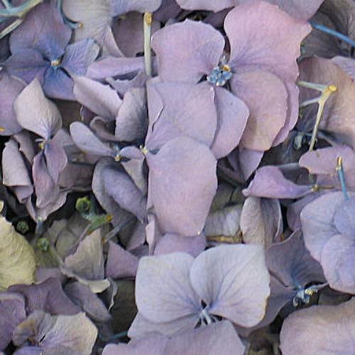 Lavender FD Hydrangea Petals (30 Cups)